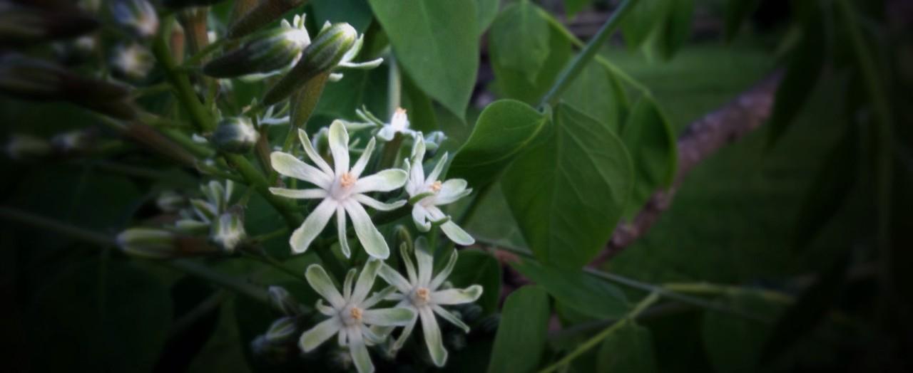 coffee_bloom
